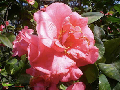 Japanese camellia, Camellia, Camellia sasanqua