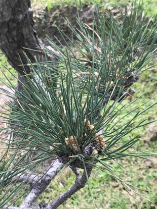 Pinus uncinata