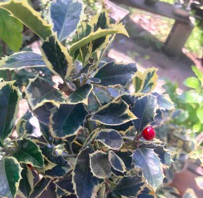 Ilex aquifolium, variegated