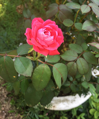 Rose, Rose family, Floribunda, Garden roses, Rosa centifolia, Rosa wichuraiana, China rose, Camellia sasanqua, Rosa gallica