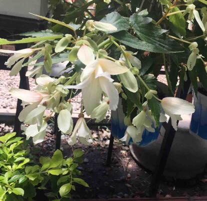 Begonia boliviensis, 'Santa Cruz'