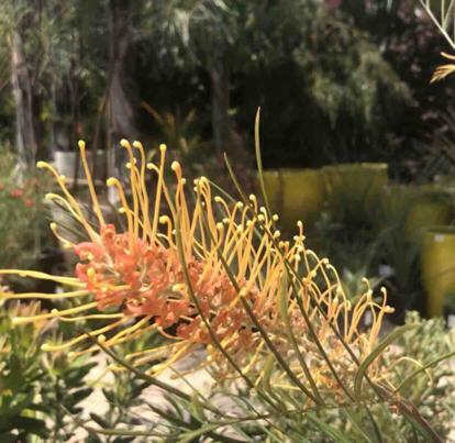 Grevillea, 'Honey Gem', Proteaceae