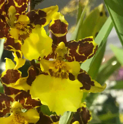 Odontonia, 'Golden Afternoon', Orchidaceae