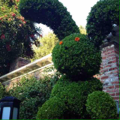 Buxus sempervirens, Topiary