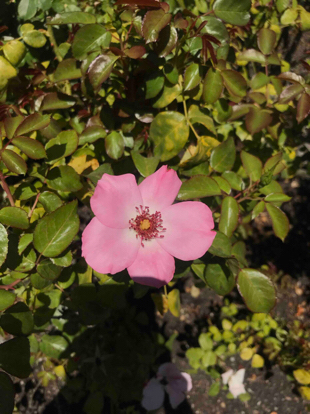 Rose, 'First Light', Rosaceae