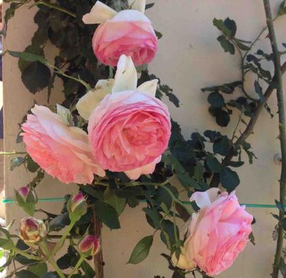 Rose, 'Pierre Ronsard', Rosaceae