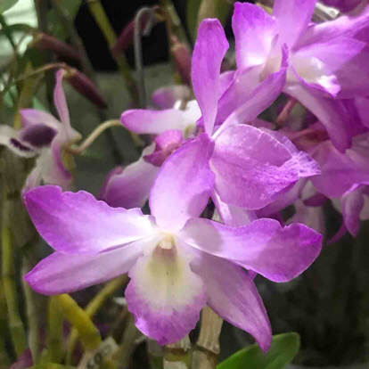 Dendrobium, Orchidaceae