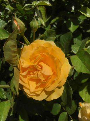 Rose 'Midas Touch', Hibrid tea, Rosaceae