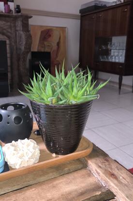 Aloe vera , Asphodelaceae