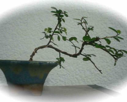 Ulmus parvifolia, Bonsai