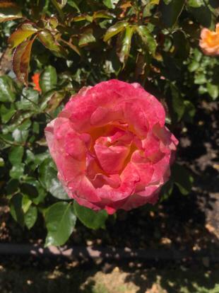 Rose grandiflora, Pink Flamingo', Rosaceae