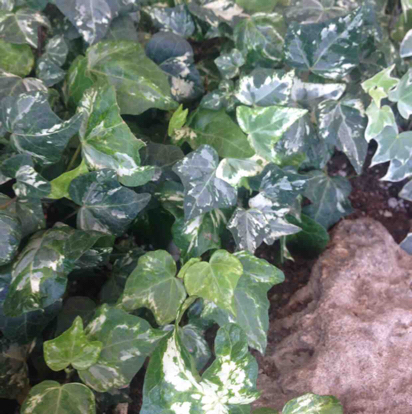 Hedera helix, 'Variegated'