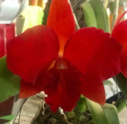 Sophrocattleya Destiny, Orchidaceae