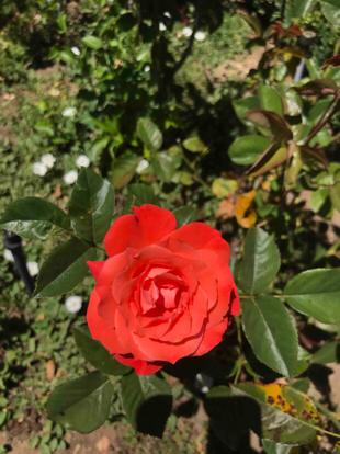 Rose 'Bacardi', Rosaceae