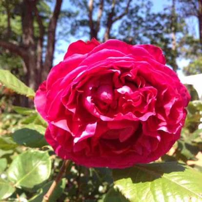 Rose, Valentina Casucci, Rosaceae
