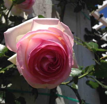 Rose, Pierre Ronsard, Rosaceae