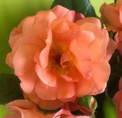 Rose, 'Westerland'