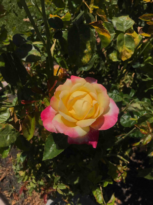 Rose , Hybrid tea, 'Love & Peace', Rosaceae