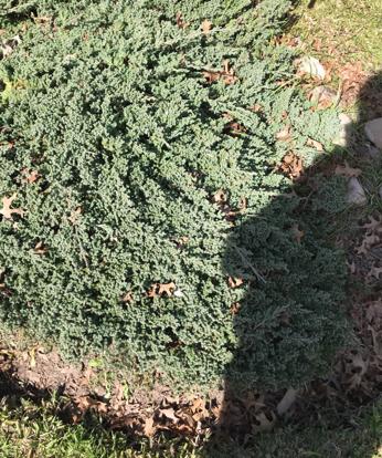 Juniperus, 'Procumbens Nana'