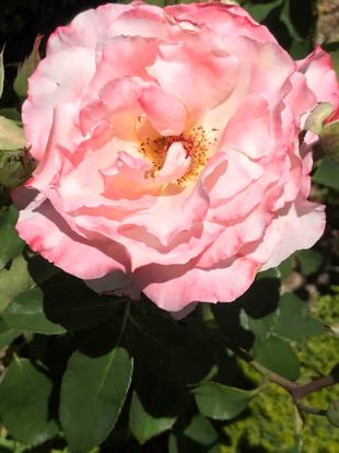 Rose 'Secret', Rosaceae