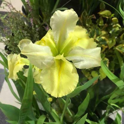 Iris, hybrid, 'Maestro Sasaki'