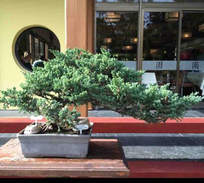 Juniperus, procumbens nana