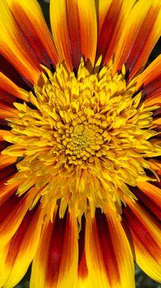 Sunflower, Daisy family, Chrysanths
