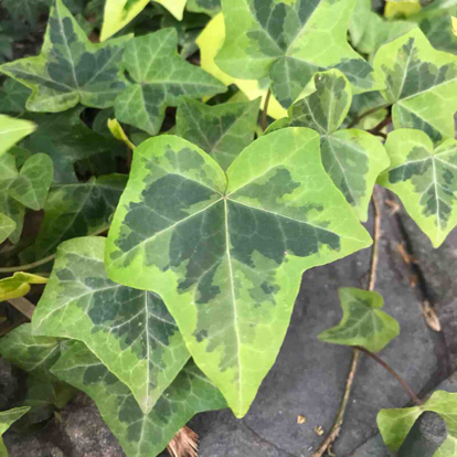 Ivy, Hedera helix, variegated