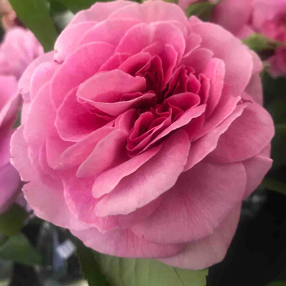 Rose, 'Gertrude Jeky', Rosaceae