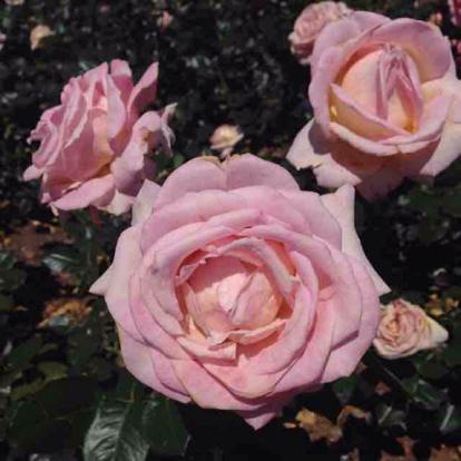 Rose, 'Frederic Mistral', Rosaceae