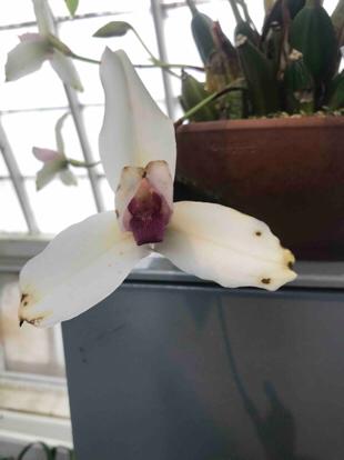 Lycaste sp., Orchidaceae