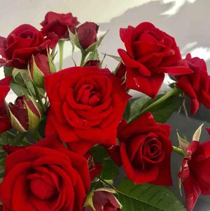 Rose, 'Karina', Rosaceae