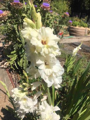 Gladiolus, Iris family
