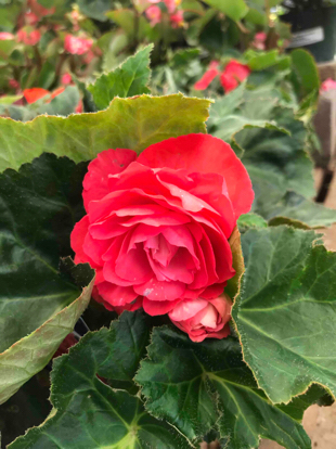 Begonia tuberosa, 'New star Rose'