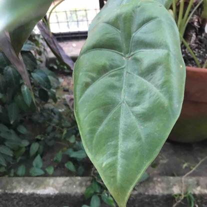 Anthurium caucanum