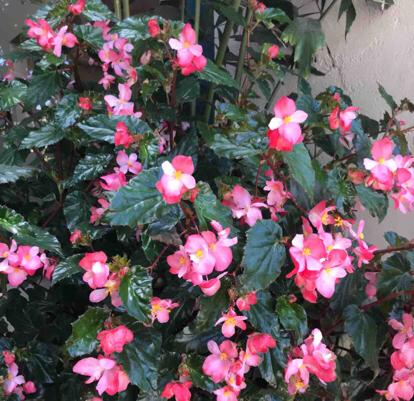 Begonia,  'Dragon Wing Pink '