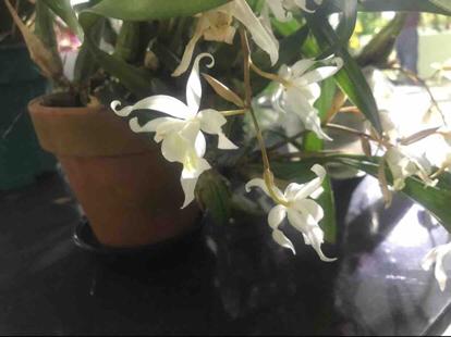 Coelogyne, Orchidaceae