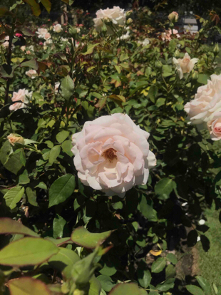 Rose, Hybrid Tea, 'White Delight', Rosaceae