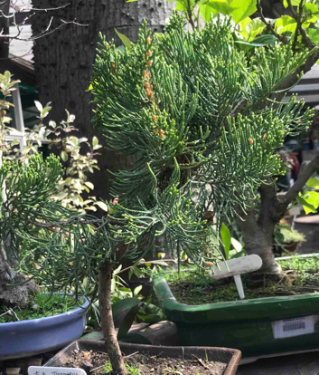 Juniperus chinensis, Bonsai