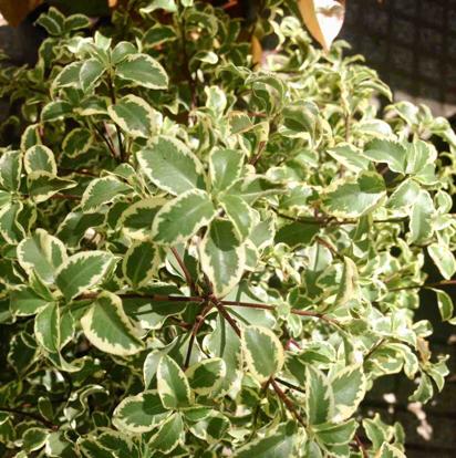 """Pittosporum Tenuifolium, """"Variegatum"""""""