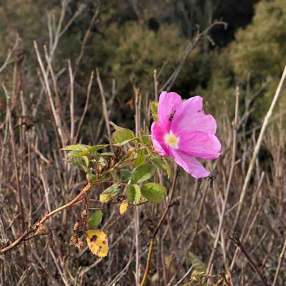 Evening primrose, Four o clock family