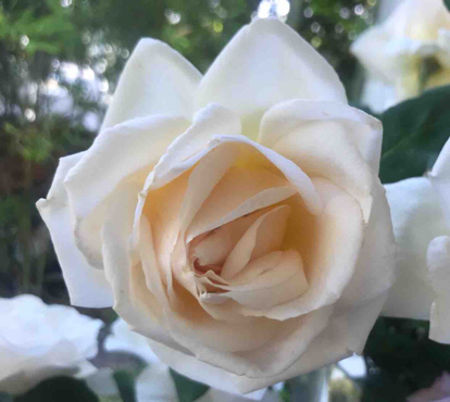 Rose, 'Garden Party', Rosaceae