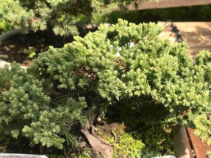 Juniperus, Procumbens Nana, Bonsai