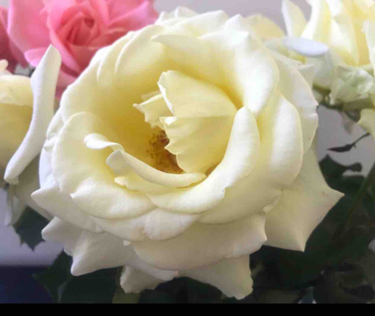 Rose, 'Elina', Rosaceae