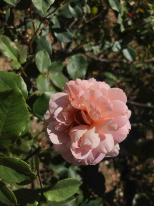 Rose, hybrid tea, 'Gruss an Coburg', Rosaceae
