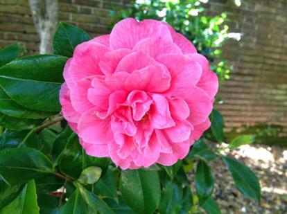 Japanese camellia, 'Kumasaka'