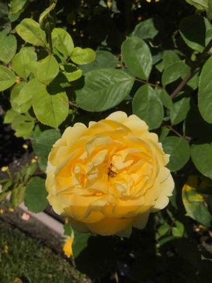 Rose grandiflora, 'Ch-Ching', Rosaceae
