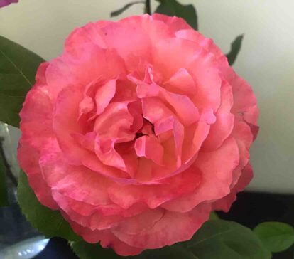 Rose, 'Panthere Rose'