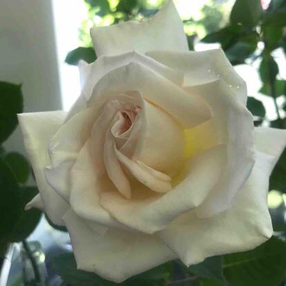 Rose, 'Jardine de Bagatelle', Rosaceae
