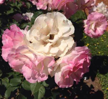 Rose, 'Charlotte', Rosaceae